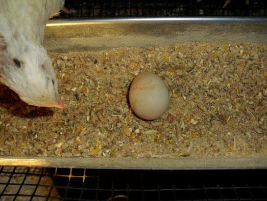 Keklik Yumurtası